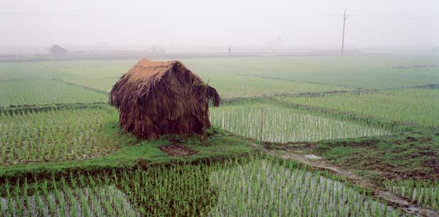 Bangladesh rice paddies