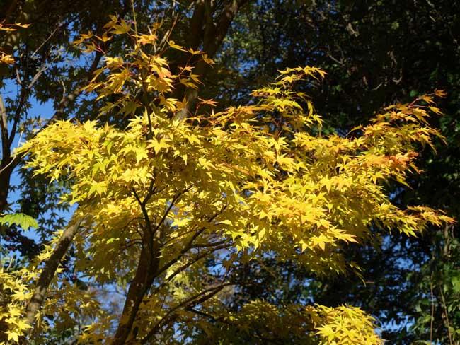 Acer in back garden