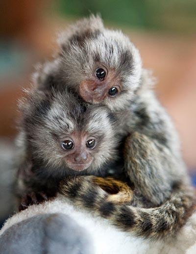 Baby marmosets