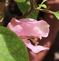 Bougainvilleas pink
