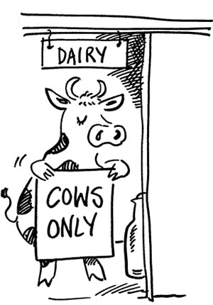 Cow in dairy