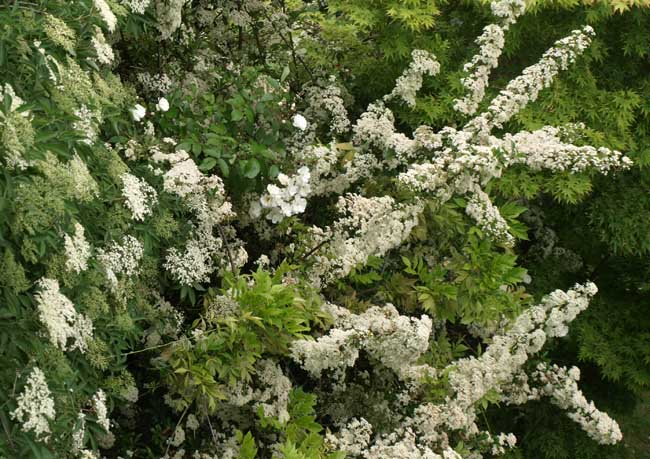 Elerflower and pyracantha