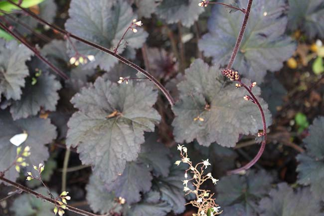Heuchera black silk