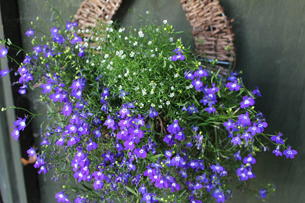 Lobelia and mini gypsophila