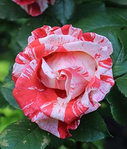 REd white striped rose