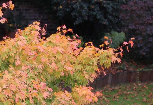 acer colouring