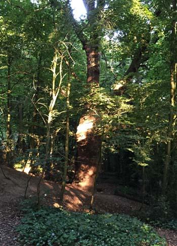 heath tree