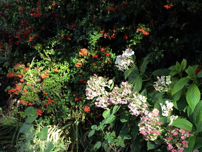 hydrangeas and pyracantha