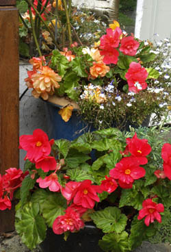 Potted begonias