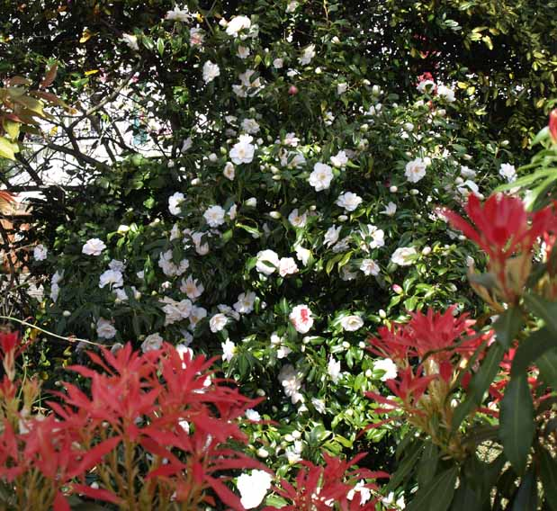 Pieris and camellia