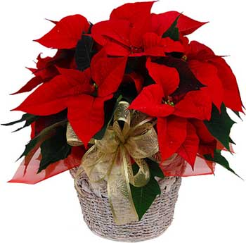 red-poinsettia