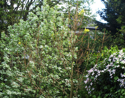 Whitebeam, ash and clematis